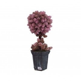 Lavender Tree with Pot
