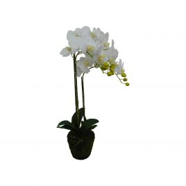 White Orchid with moss root (S)