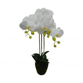 White Orchid with moss root (L)