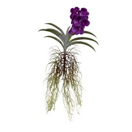Orchid with root