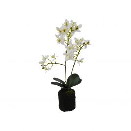 White Orchid with pot