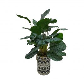 Philodendron Artificial Plant in Black & White Ceramic Vase